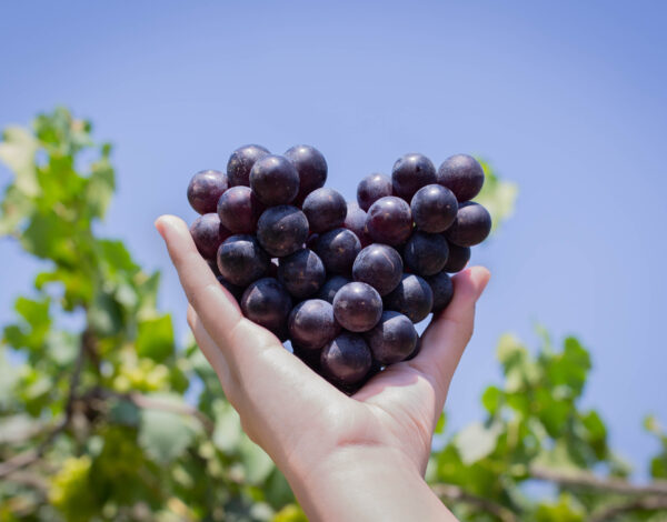 Crno grožđe – i poslastica i lijek